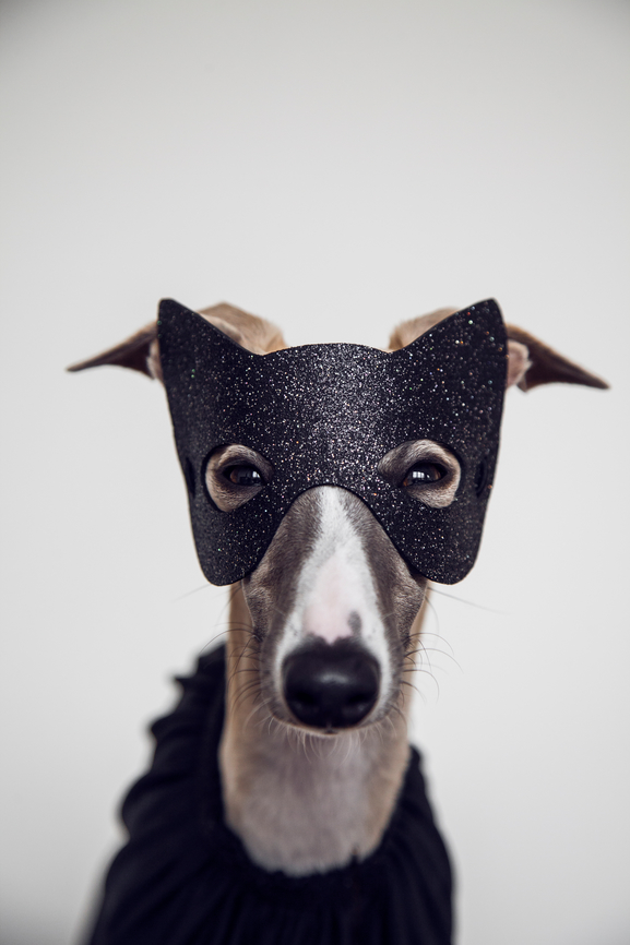 Dog wearing black halloween mask for a pet costume event