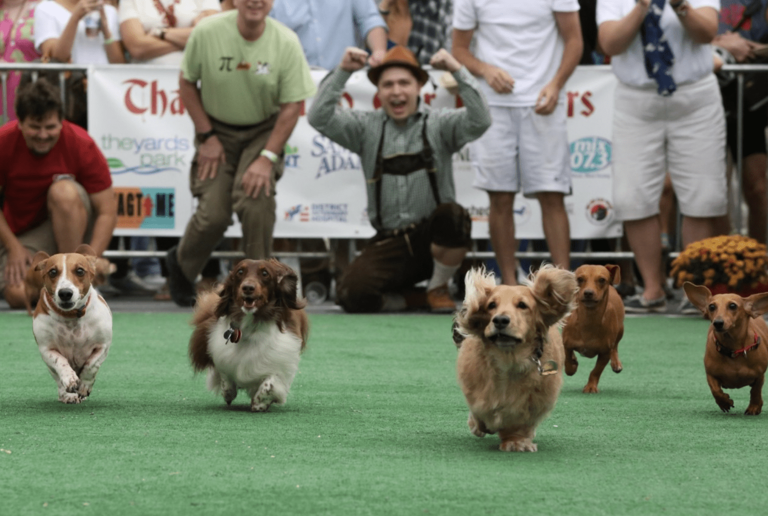 Dachsunds competing in Oktoberfest dog race event