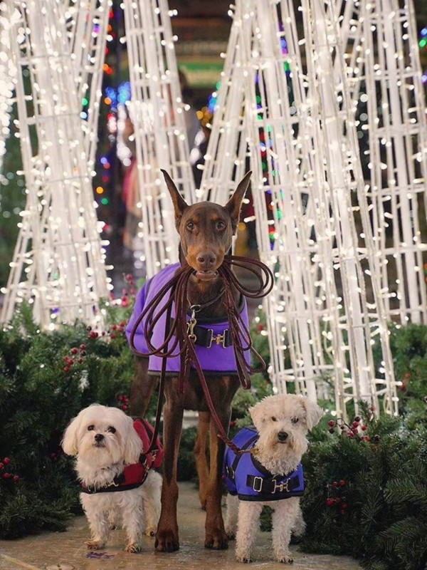 Three dogs in front of Christmas trees with lights